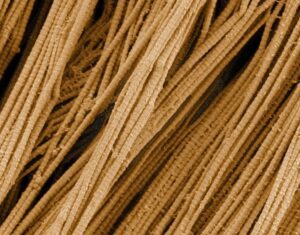 Collagen Fibers are high source of Proteins.