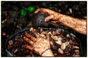 Brazil nuts harvesting