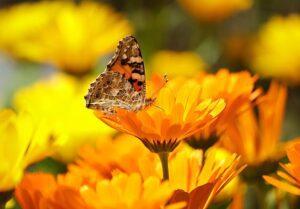 calendula benefits for skin