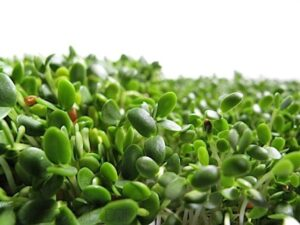red clover sprouts health benefits