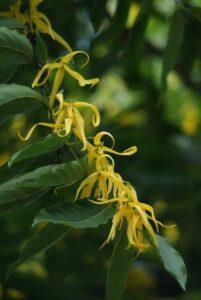 Ylang Ylang Plants
