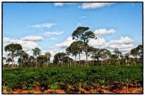 Brazil nuts trees