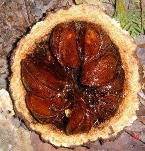 Brazil nut fruit