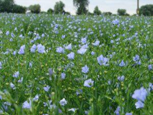 flaxseed plants