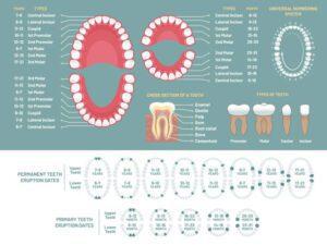 Parts of teeth