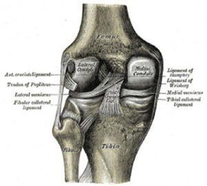 anatomy of knee